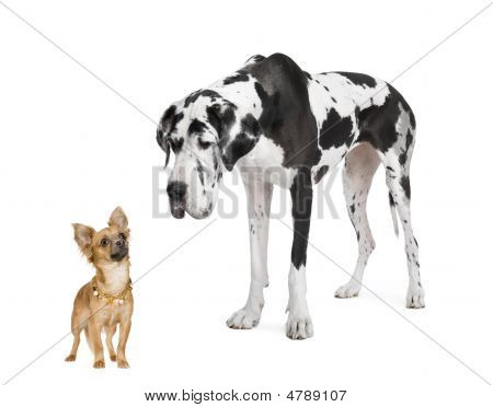 Harlequin Great Dane (4 Years)  Looking Down At A Small Chihuahua  (18 Months)
