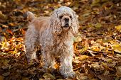 Young American cocker spaniel in autumn forest poster