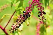 Wild poke salad berries growing in field. poster