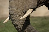 close up of elephants tusks and part of trunk. poster