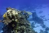 coral reef with hard corals at the bottom of tropical sea on blue water background poster