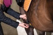 Detail view of girl saddling her brown pony (New-Forst-Pony) poster