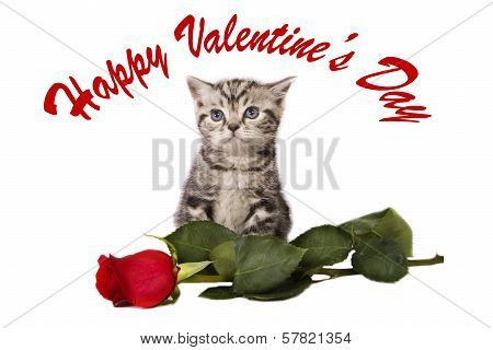 Kitten With A  Rose.