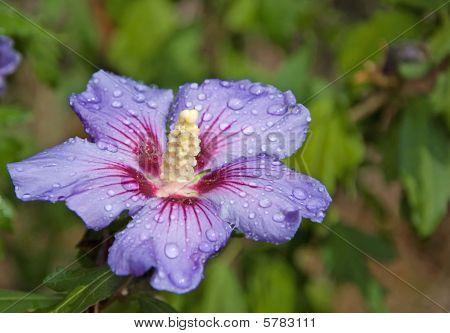Single Blue Hibiscus Flower