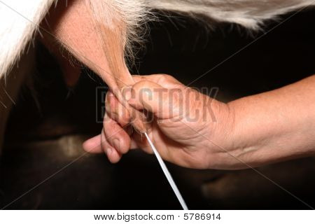 The hand pulls an udder of a goat