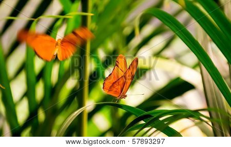 Julia Butterflies