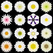 Big Collection of Various White Flowers. Kaleidoscopic Mandala Patterns Isolated on Black Background. Concentric Rose Daisy Primrose Sunflower Carnation Marigold Gerber Dahlia Zinnia Flowers in Yellow and White colors. poster