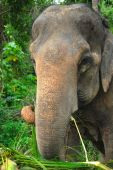 asian elephant eating in the wild jungle poster