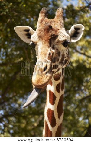 Closeup of giraffe with tongue sticking out. Vertical shot. poster
