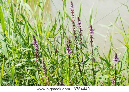 Flowering Purple Loosestrife At The Banks Of A Stream