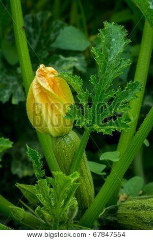 Zucchini In Garden