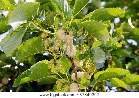 White mulberry (Morus alba)