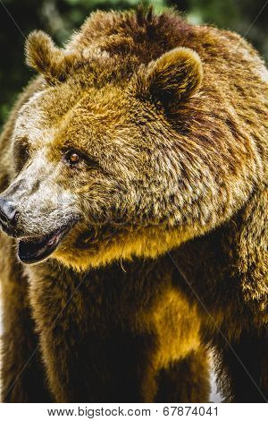 killer, brown bear, majestic and powerful animal poster
