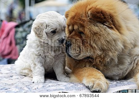 Central Asian Shepherd and Chow Chow at a dog show in spring poster