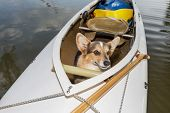 Corgi dog in a decked expedition canoe on a lake in Colorado, a distorted wide angle fisheye lens perspective poster