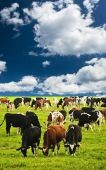 Cows grazing in a green pasture on sustainable small scale farm poster
