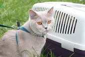 British  lilac cat sits near a box for transportation in grass poster