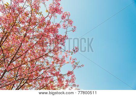 Beautiful Pink Cherry Blossom (sakura), Chiang Mai, Thailand