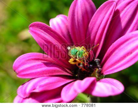 Green Bee on Purple Flower