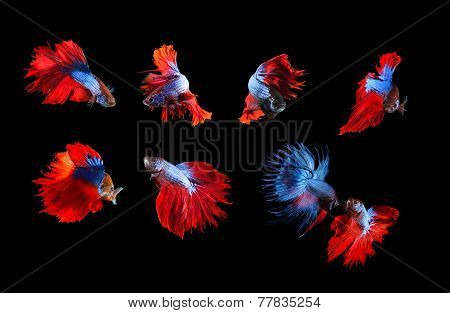 Mixed Of Blue And Red Siamese Fighting Fish Betta Full Body Under Water Isolated Black  Background