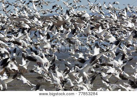 Astounding Flock Of Snow Geese Rises Upward