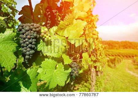 Black grapes vineyard in the region of Alsace, France grown specifically for making wine.