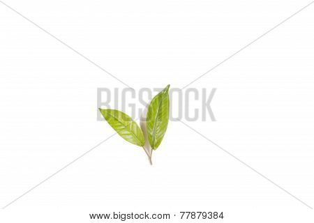 isolated greens leaves