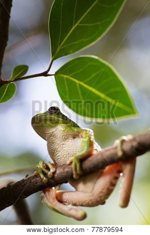 tropical tree frog Hypsiboas riojanus an exotic treefrog and beautiful amphibian of the Bolivian Andes