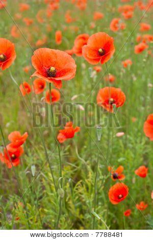 Beautiful Poppies In A Field