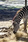 Zebra eating profile neck and head side poster