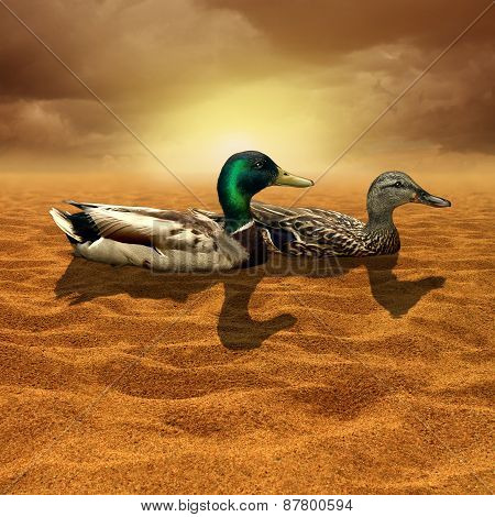 Climate change and limited opportunity concept as a pair of ducks in the middle of a dry hot desert as a bad business investment decision metaphor for adversity and struggle for survival or a drought symbol for global warming. poster