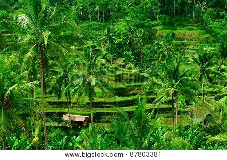 Terrace Rice Fields On Bali, Indonesia
