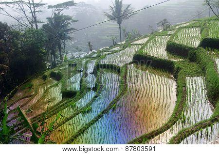 Terrace Rice Fields On Java, Indonesia