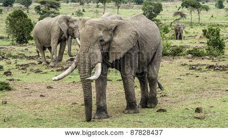 Elephants In Masai Mara National Park.