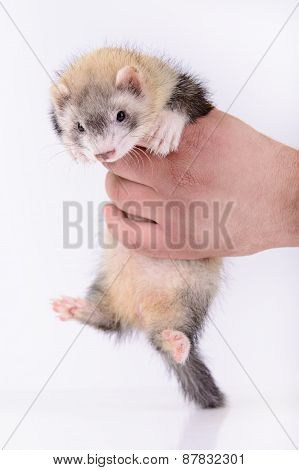 small animal rodent ferret in human hand on a white background poster