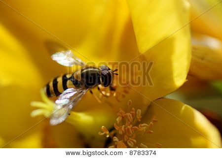 Hoverfly on a Yellow Flower