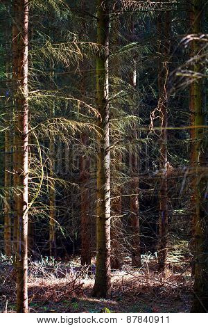 Coniferous Forest With Closely Spaced Trees