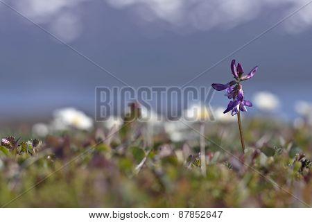 Astragalus alpinus L. Alpine Milk-vetch in early June.