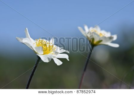 Close up of Mountain Avens, Dryas octopetala in Latin on a hillside on the Scandinavian range. poster
