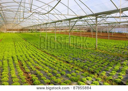 Hot greenhouse full of green small lettuce heads