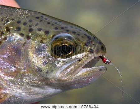 Close-up rainbow trout