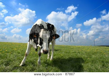 Curious Cow In Pasture