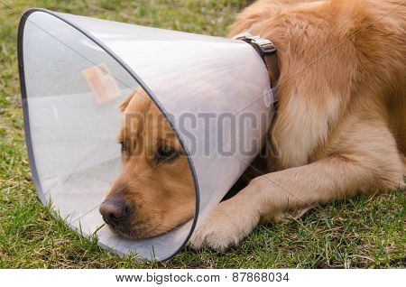 Dog (golden retriever) using funnel collar