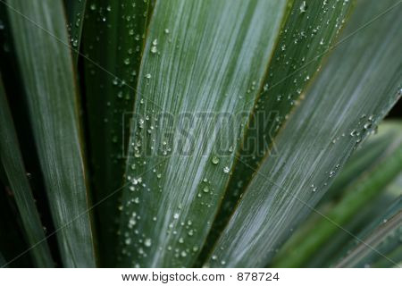 Dew On Palm Leaves