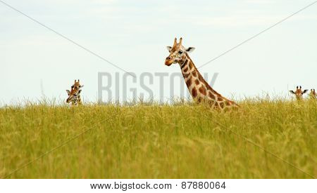 Giraffe Heads Poking Up Out Of Savannah Grass