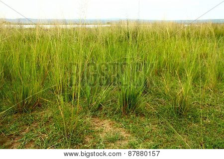 Grasses Along The Ugandan Nile