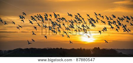 Flock Of Avocets In Flight
