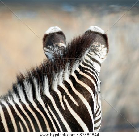 Closeup Of A Zebra Grevi's Ears
