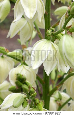 Yucca Filamentosa Flowers. Image Close-up