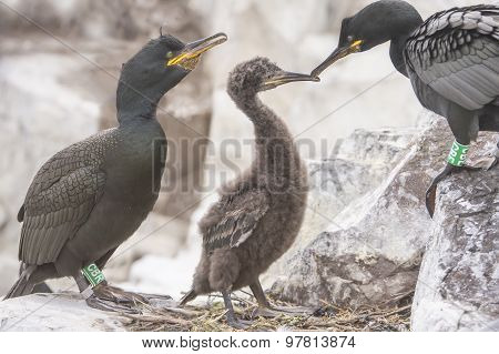 European Shag Phalacrocorax aristotelis adults and a juvenile